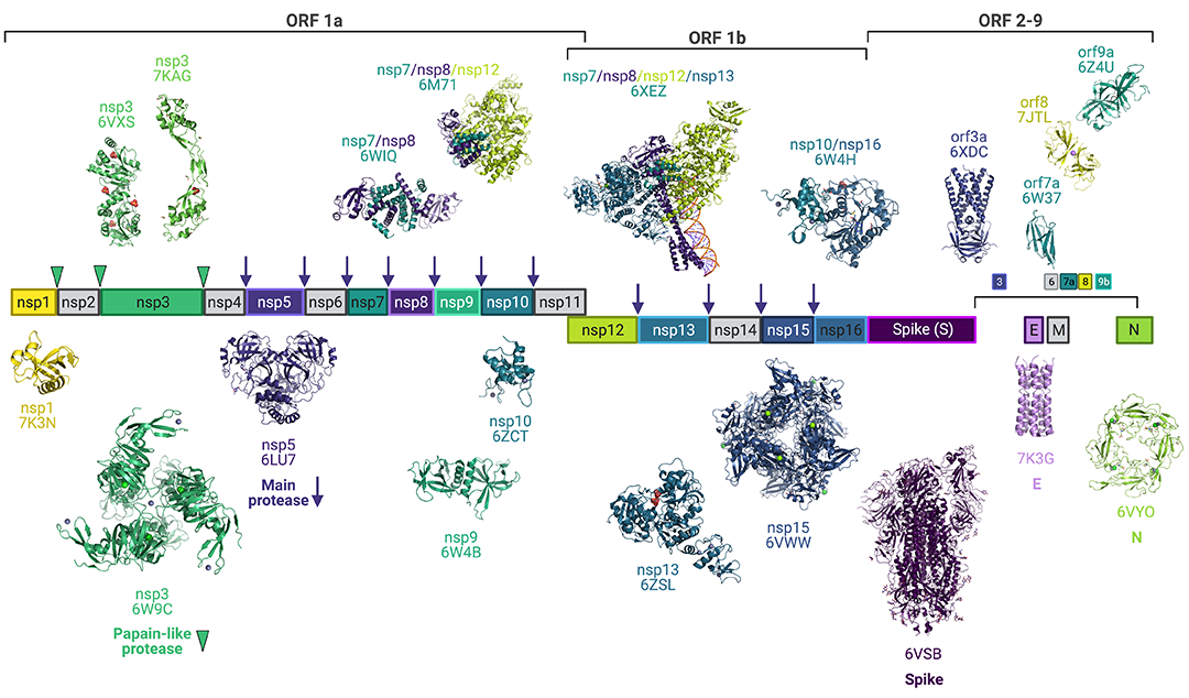 Structural biology at the center of COVID-19 scientific efforts